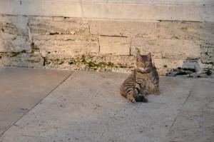 Katze_istanbul_cat